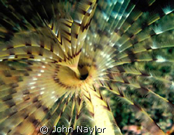 Feather worm. by John Naylor 